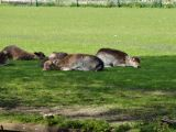 Deer in the parklands of Utrecht